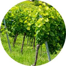 vigne-bio-biodynamie